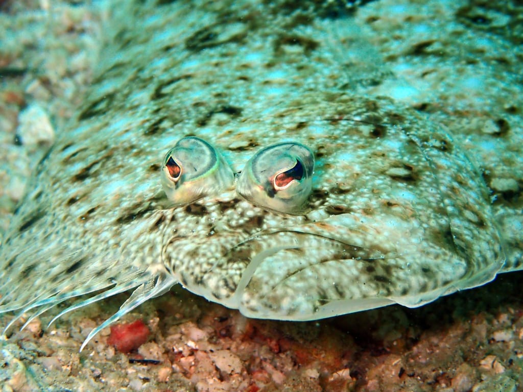 flounder01